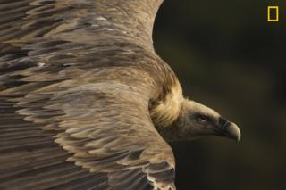 A close shot of a vulture flying